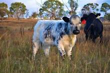 A superior line of Speckle Park steers and heifers (F1 cattle) Armidale Armidale City Preview