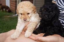Toy Poodle Pups for Sale Bankstown Bankstown Area Preview
