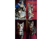 Two Gorgeous, Affectionate Half-Bengal Kittens - Female