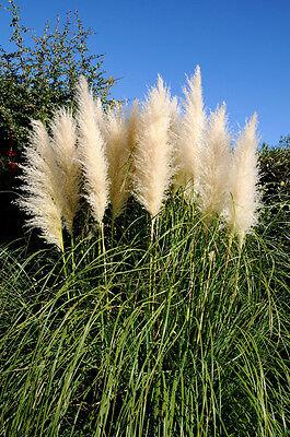 White Pampas Grass -  Cortaderia Selloana ...