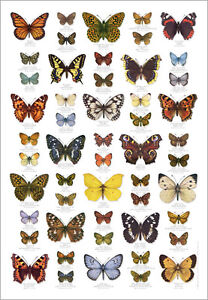 British Butterflies Butterfly Identification Poster