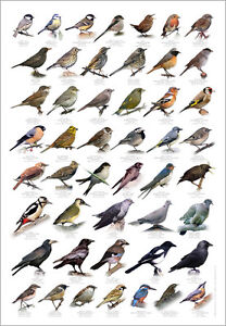 British Birds Identification Chart Wildlife Poster NEW