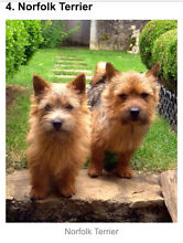 Wanted - Young terrier to buy or adopt Lesmurdie Kalamunda Area Preview