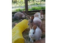 Very cute dwarf lop baby bunny bunnies for sale very pretty. parents can be seen. just 4 left.