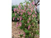 """Garden Plant called """"Ribes sanguineum"""" 4 ft tall with pink flowers"""