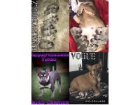 French bulldog pups ready now (kc reg/quads)