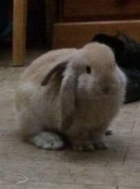 Baby large lop rabbits