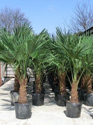 Trachycarpus fortunei - Hanfpalme 150-180cm - Stamm 30-50cm    Winterhart -18°C
