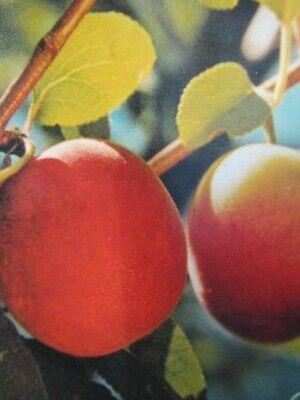 Bricocco - Pflaume trifft Aprikose - winterharte Pflanze 150-180cm im