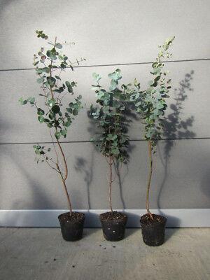 Eukalyptus Pflanze, frischer Eukalyptus Eukalyptus gunii ca 20-25cm Strauch