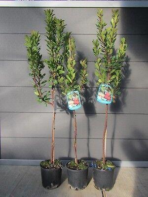 Arbutus unedo - westl. Erdbeerbaum - winterharte Pflanze 150-170cm - Früchte