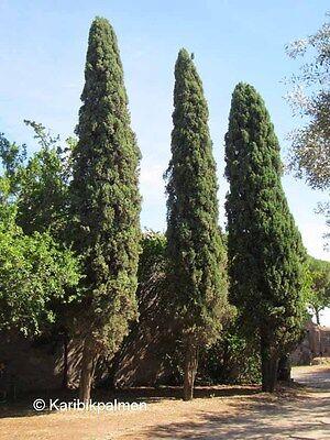 Cupressus sempervirens - Mittelmeerzypresse - Pflanze 90-120cm Toskana Zypresse