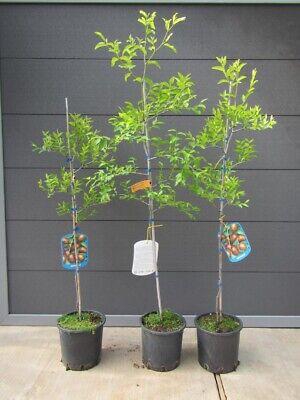 Ziziphus jujuba 'Lang'- große chinesische Dattel - winterharte Pflanze 160-170cm