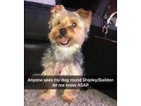 REWARD for safe return of little Yorkshire terrier named Oscar