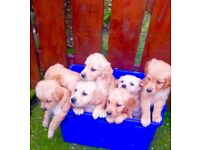 Stunning Golden Retriever pups - KC Reg