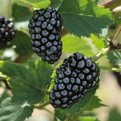 4 Blackberry Fruit Plants Natchez Four Plant 2
