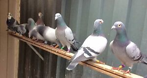 Pigeon from $ 6 each Rowville Knox Area Preview