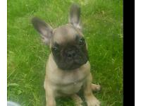 Pure bred french bulldog puppy