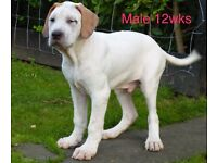 Quality white mastiff pup