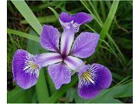 Purple water irises