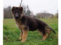 German Shepherd rehome