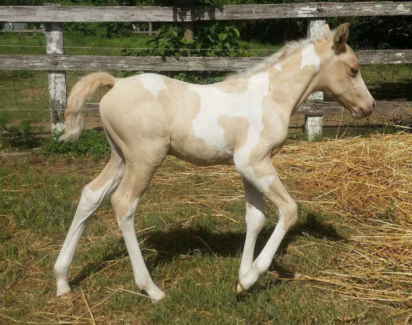 Very Sensible Palomino Paint Arabian