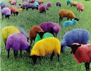 Photographic-poster-multicolored-sheep-Pullover-Farm