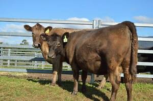 Angus x Murray Grey Cows, PTIC Bemboka Bega Valley Preview