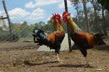 BROWN LEGHORN ROOSTER Gordon Moorabool Area Preview