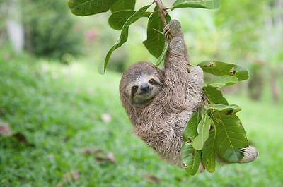 Sloth Hanging Out Glossy Poster Picture Photo Cute Funny Cool Tree Animal 2370