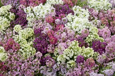50+  ALYSSUM EASTER BONNET MIX, SELF SOWS TO PERENNIAL HARDY FLOWER SEEDS for sale  Shipping to Canada