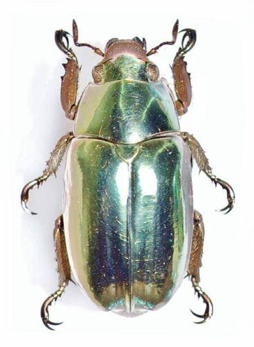 Scarabaeidae: Rutelinae: Chrysina chrysargyrea from Costa Rica, A1