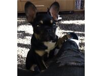 6 month old French bulldog Black and Tan male