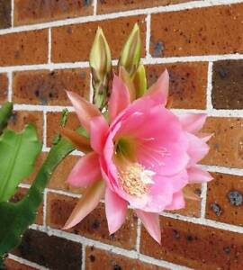 Small Pink Epiphyllum Plant 令箭荷花 ( or Nopalxochia ?? ) Eastwood Ryde Area Preview