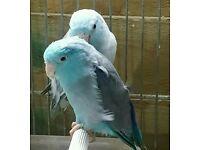 Blue Parrotlets pair world smallest parrots