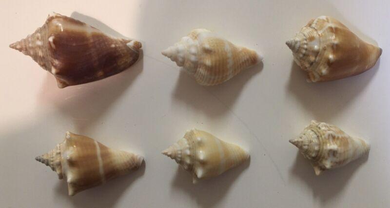 Florida Fighting Conch (Strombus alatus) Lot Of 6 Beautiful Specimens!