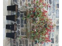 Four Large Photinea/Red Robin Plants 6ft Tall in black plastic containers.