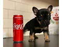 Black and tan French Bulldog puppies