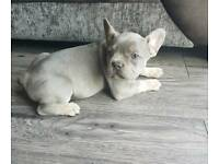 Kc French bulldog puppy