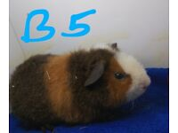 Baby teddy guinea pigs for sale