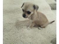 Jack Russell terrier cross pomachihw