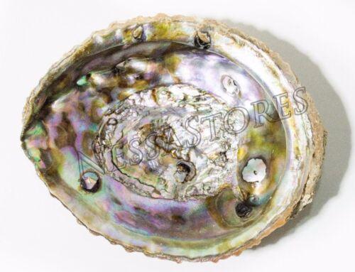 "Pink Abalone Sea Shell One Side Polished Beach Craft 5"" - 6"" (1 pc)#JC-12"