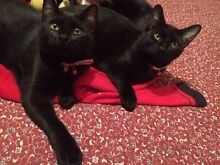 URGENT URGENT RESCUED STUNNING BLACK BEAUTIES SIBLINGS Riverwood Canterbury Area Preview
