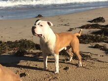 American Staffordshire Pure Breed Amstaff Staffy Puppy Top Blood Lines Secret Harbour Rockingham Area Preview