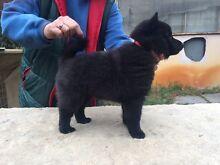 Schipperke puppy female Redmond Albany Area Preview