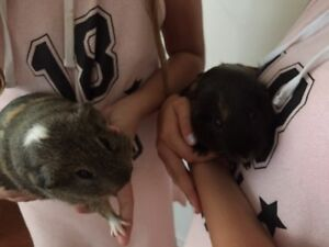 2 beautiful male guinea pigs for sale North Lakes Pine Rivers Area Preview