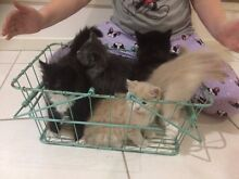 Five Adorable kittens for sale many colours to choose Yatala Gold Coast North Preview
