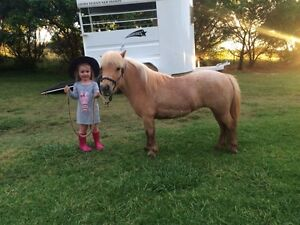 Gorgeous Miniature Pony Mare Attunga Tamworth Surrounds Preview