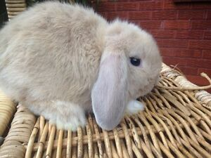 BABY FEMALE FAWN COLOURED MINI LOP RABBIT FOR SALE Harris Park Parramatta Area Preview