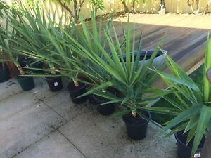 1.2 meters tall in pots. Yucca, yukka, Canning Vale Canning Area Preview